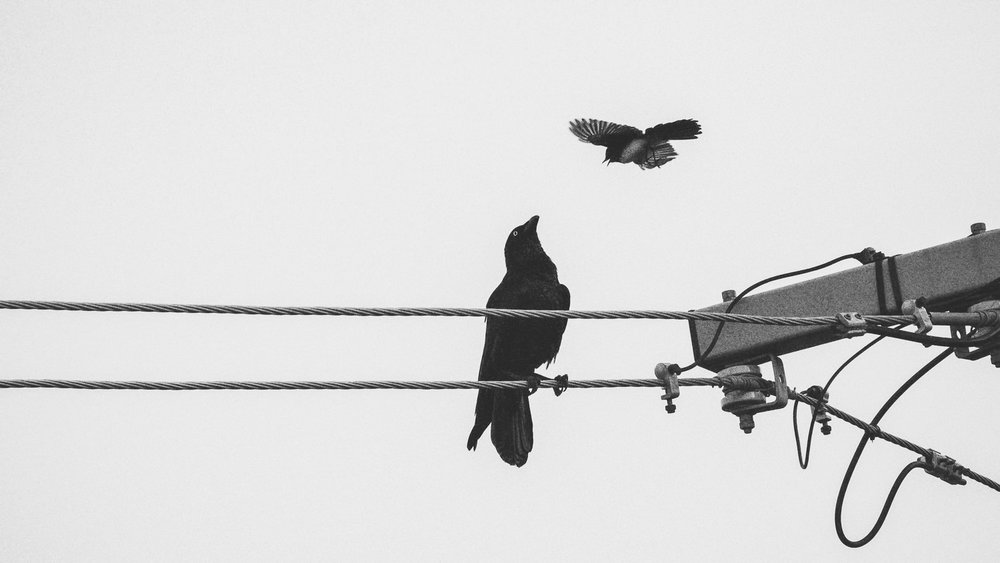 A Crow Harassed by a Willie Wagtail