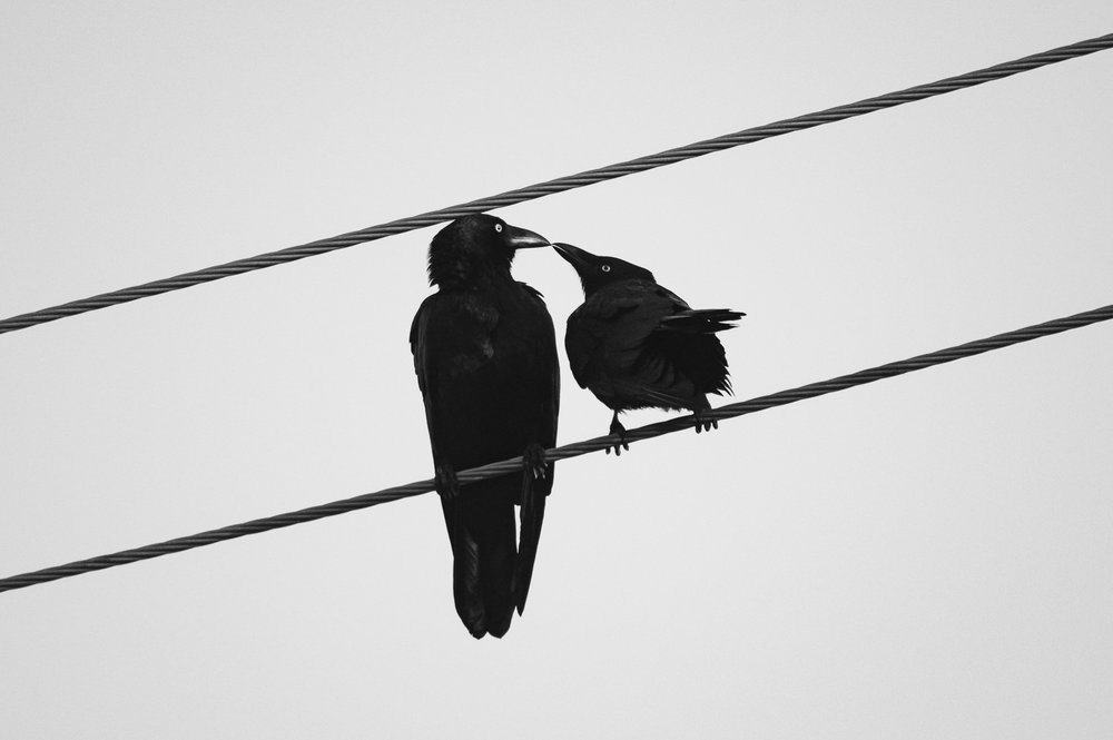 Kissing Crows