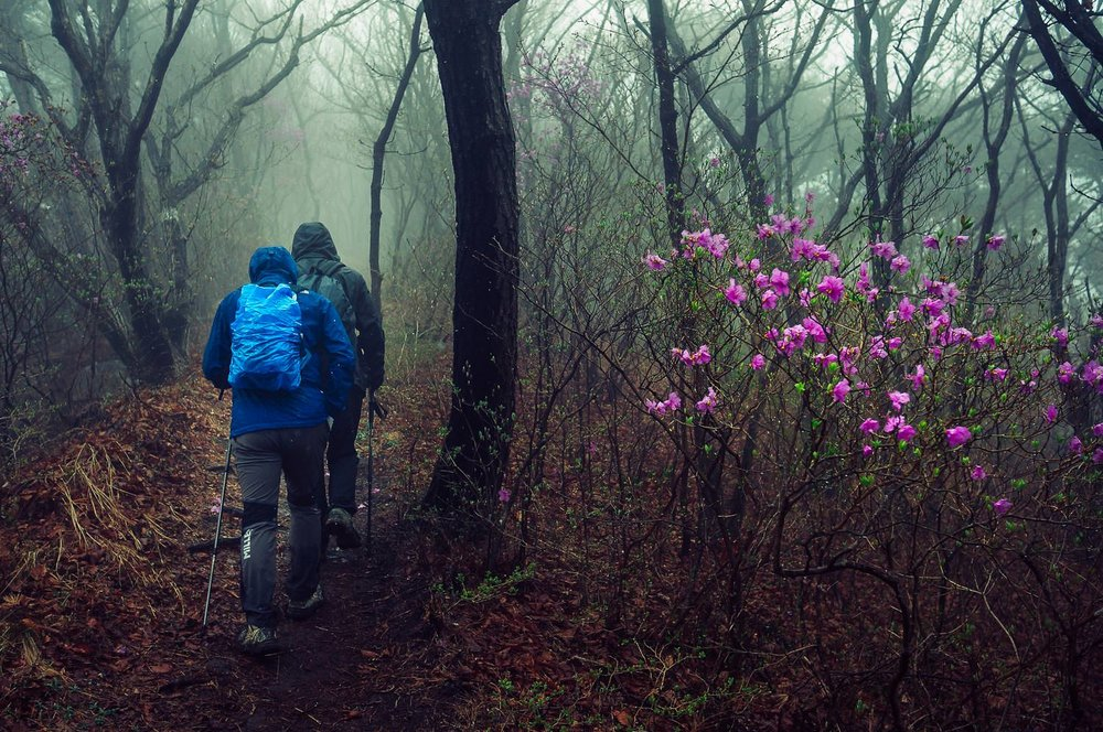 Wild azaleas & fast-moving hikers in bad weather on one of the numerous trails to the summit of  Yongji-Bong , near  Jangyu, South Korea .