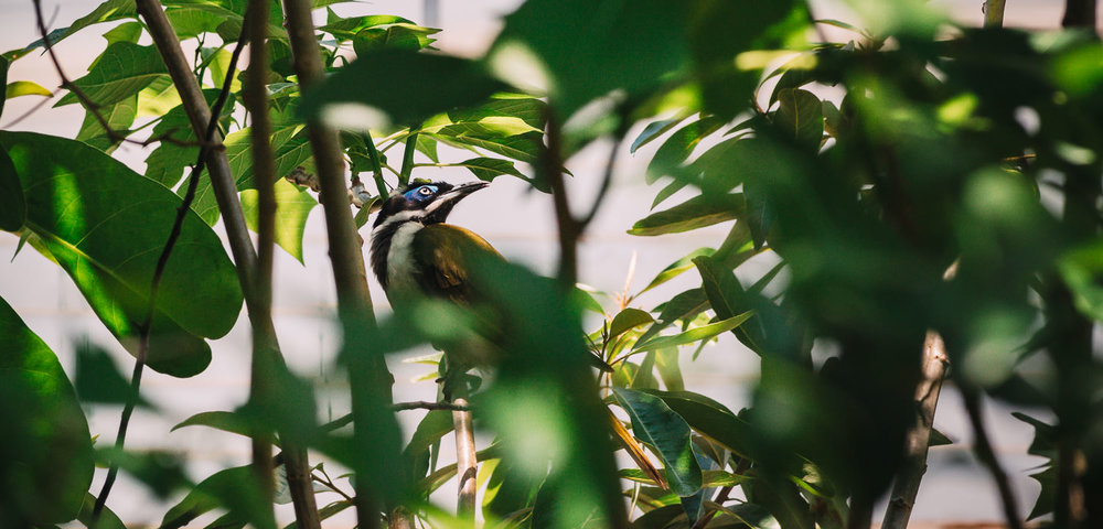 BLUE-FACED: A blue-faced honeyeater in a rare moment of repose. They're beautiful birds but rather gregarious & raucous, constantly squabbling like so many Australian birds.