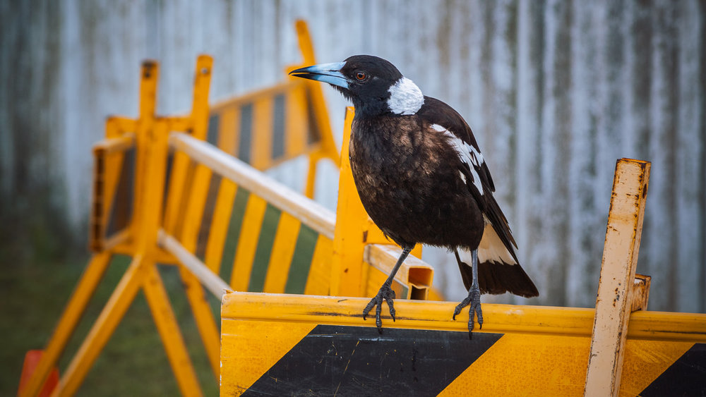 DANGER: MAGPIE: Actually Loki (some neighbours named her) is one of the most placid, human-habituated magpies I've ever met. When she sees me coming, she swoops down & struts right up the middle of the road to greet me. She has triplets at present.