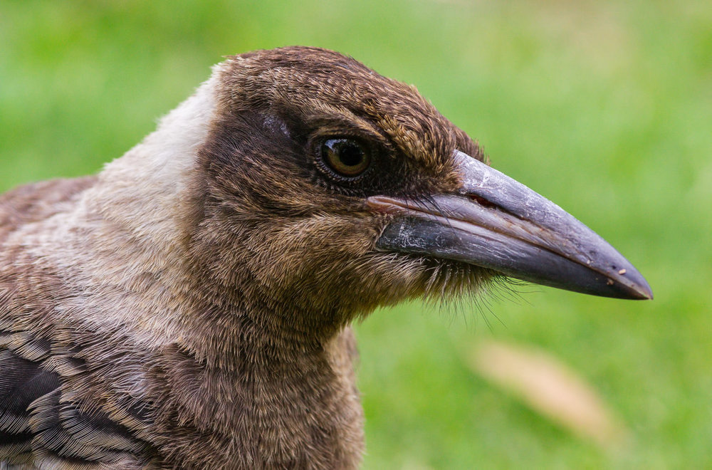 JUVENILE MAGPIE PROFILE, EINBUNPN LAGOON: This could be the same bird as above, or its sibling. They were hilarious on this morning, squabbling & play-fighting with each other quite close to me.