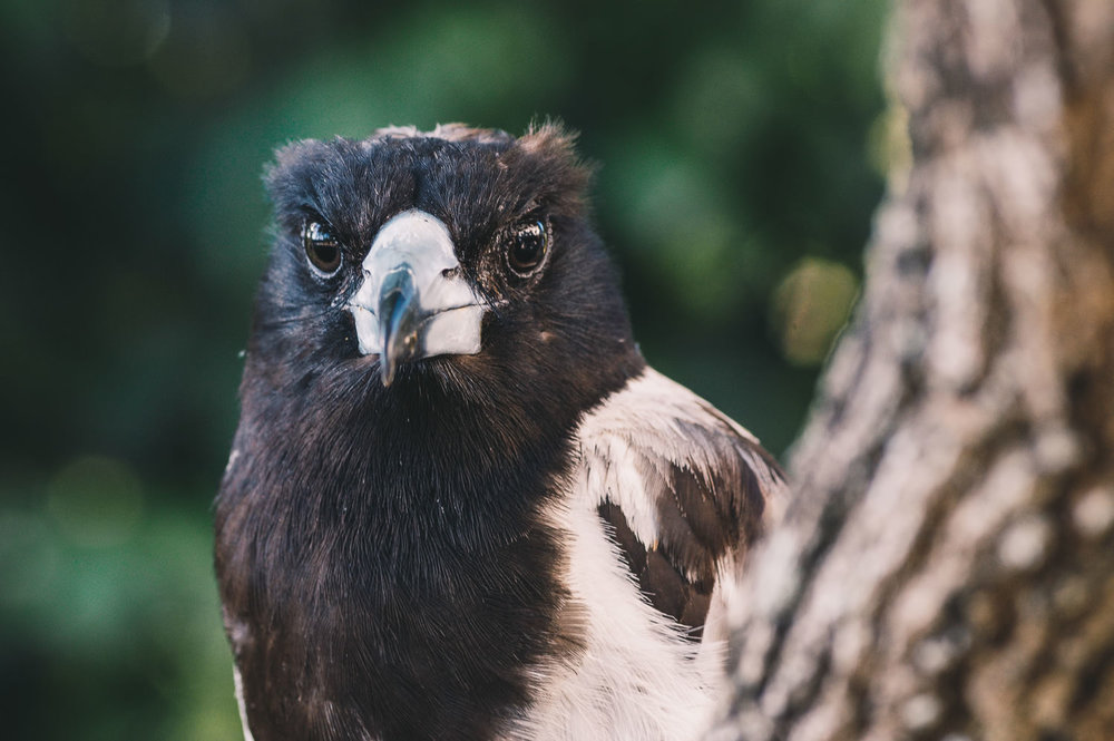 BODGIE ON A FAVOURITE PERCH: Bodgie is one of my favourite local pied butcherbirds. He'll eat from my hand & gets very upset if another of his kind approaches at that time, emitting a comical squawk all his own.