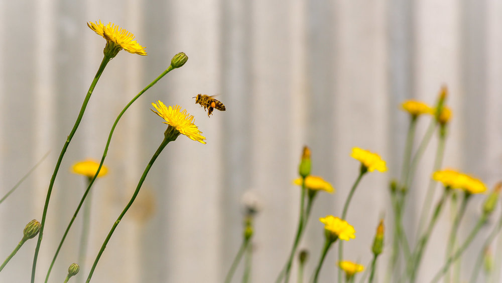 MORNING ROUNDS: A bee does its thing in a patch of sow thistles (often mistakenly called dandelions) against a fence in Deagon.