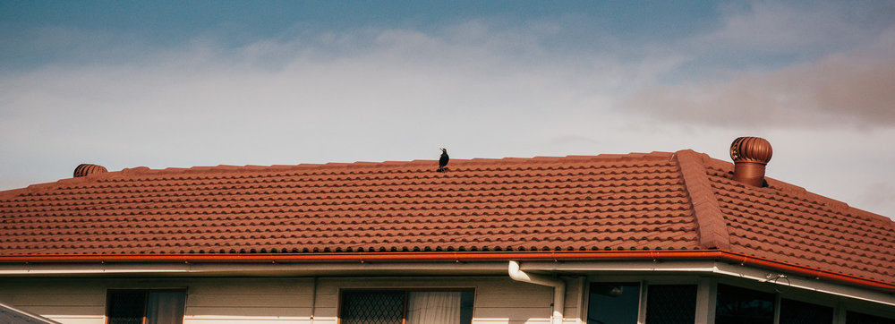 LENNY ON THE ROOF: I hope you're paying attention. There'll be a test at the end of term. This is Lenny, who with Lena make up the next mating pair of magpies on my street.