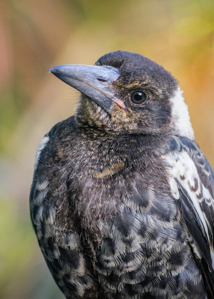 Magpie Portrait #9