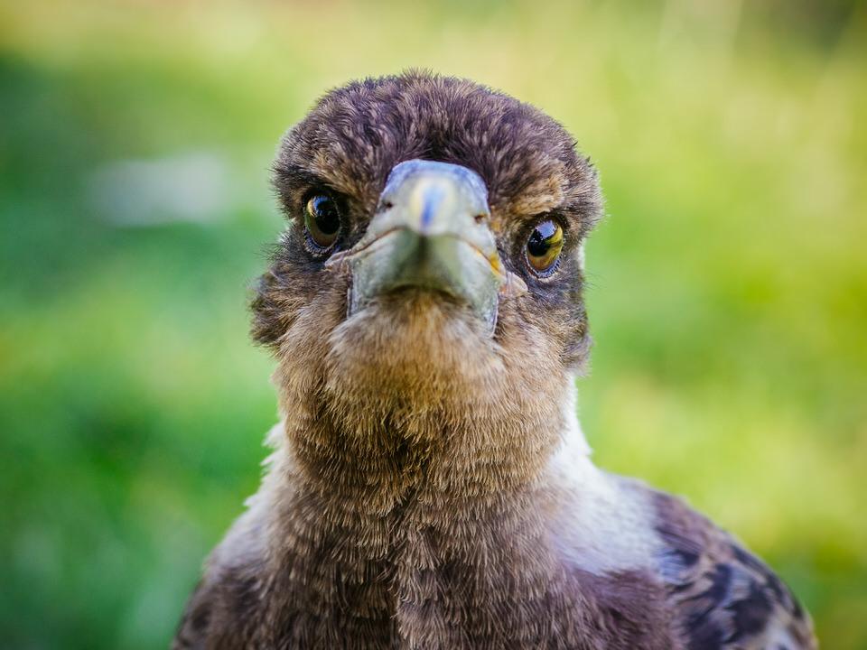 Magpie Portrait #6