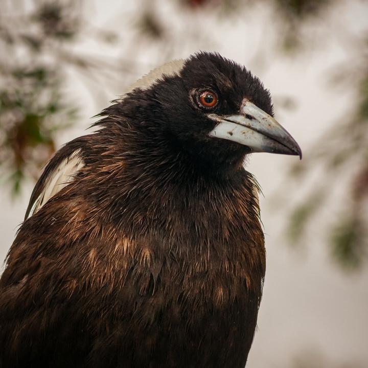 Magpie Portrait #15