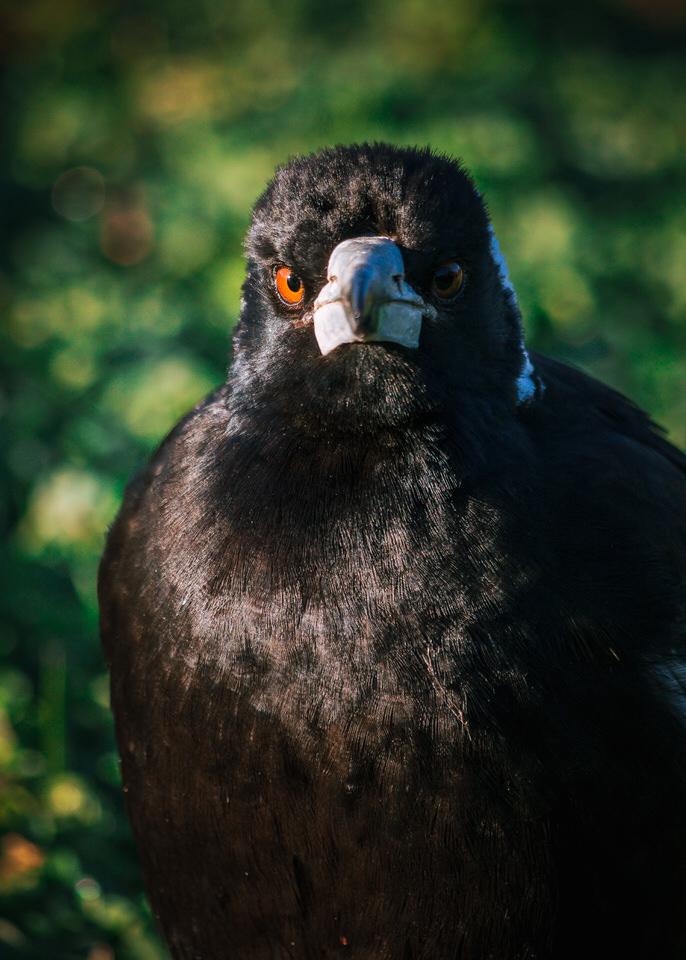 Magpie Portrait #1