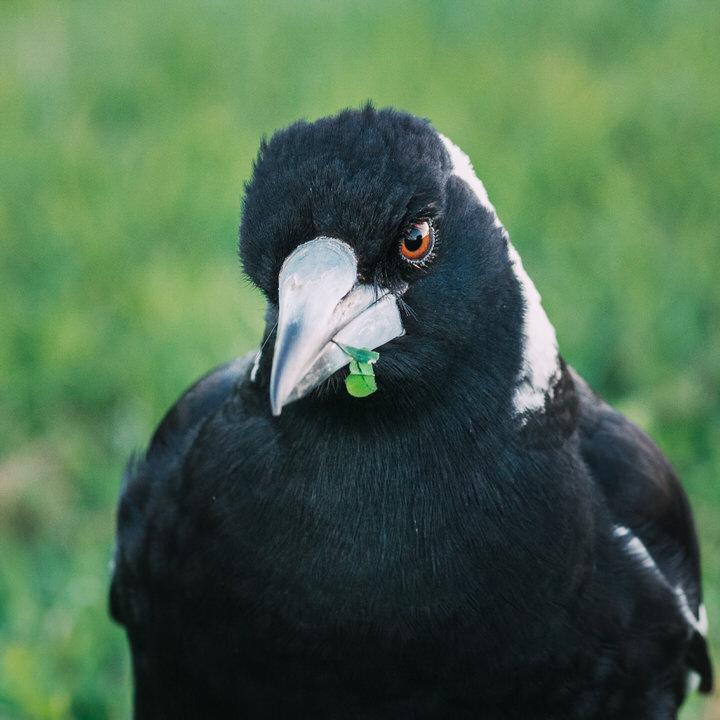 Magpie Portrait #20