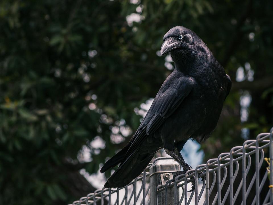 Crow #20