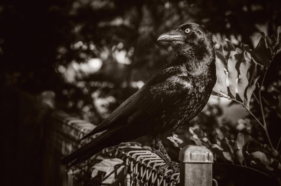 Crow #27