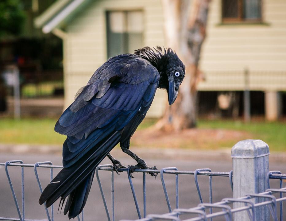 Crow #18