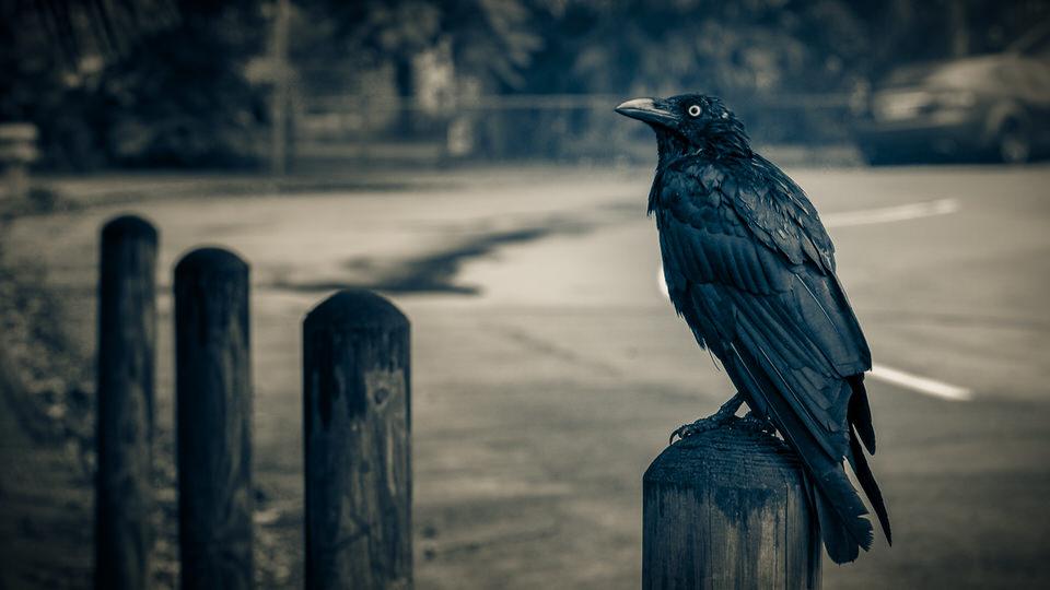 Crow #25