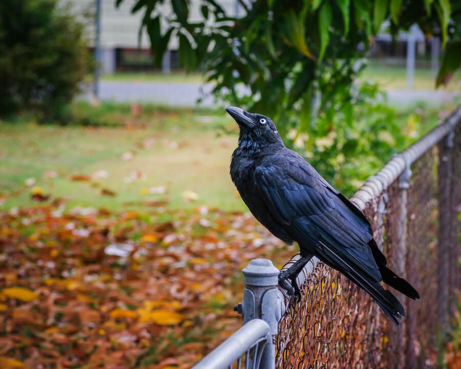 Crow #24