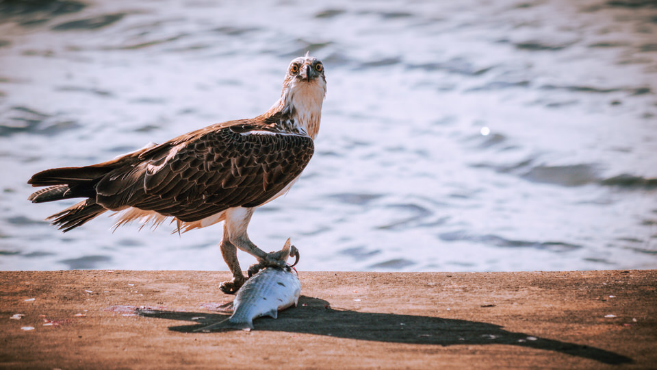 An Osprey with Its Freshly Caught Lunch, Brighton