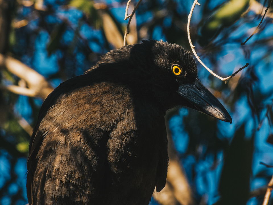 A Rare Visit from a Currawong