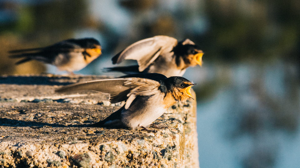 Infant Welcome Swallows Crying for Breakfast on the Waterfront