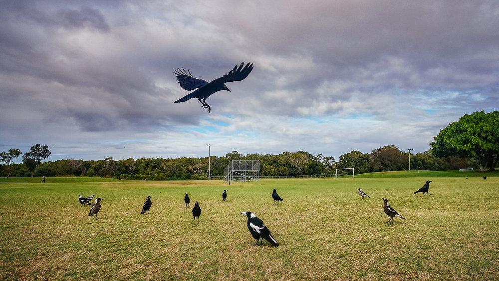 Crow #31