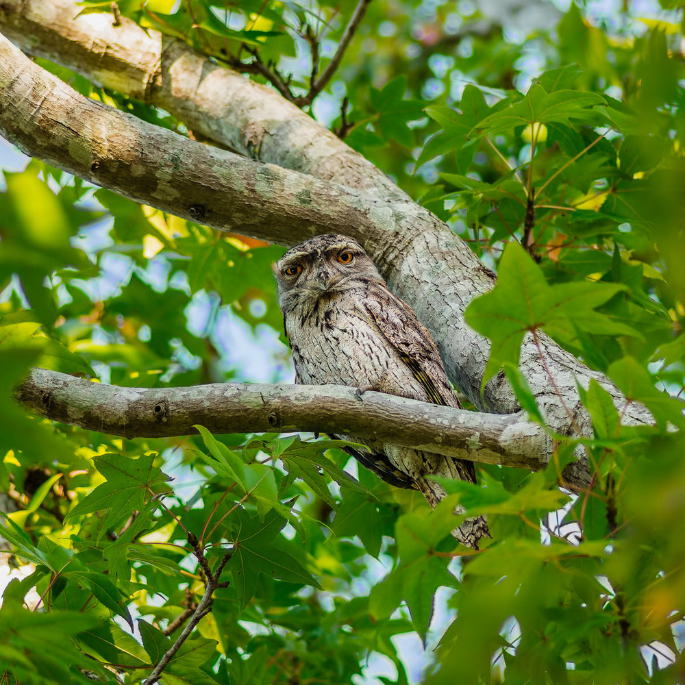 Frogmouth in a Frontyard Maple