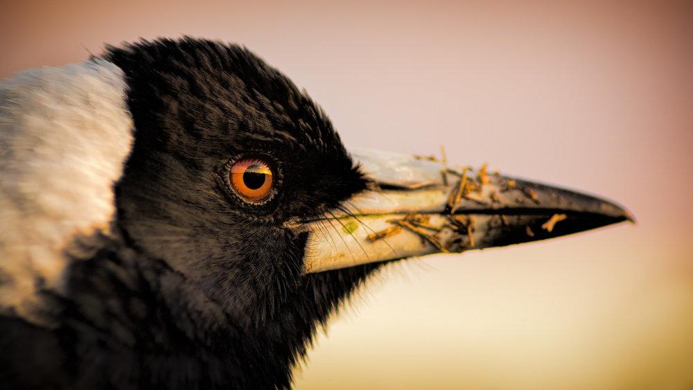 Dirty Beak: A Magpie Portrait, 2016