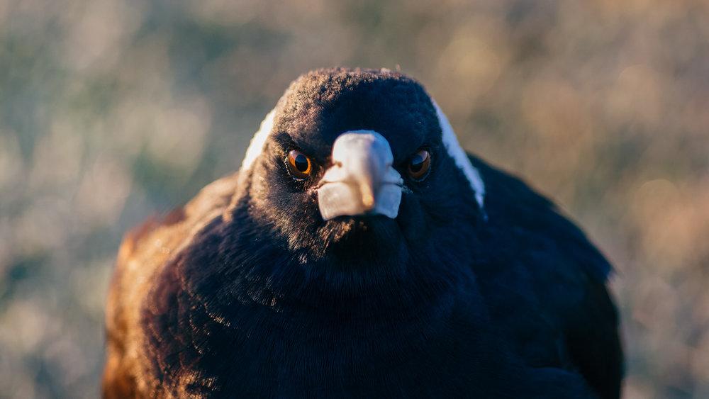 Magpie Portrait #22