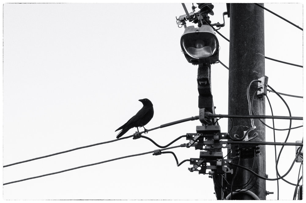 A Crow Surveils Its Territory