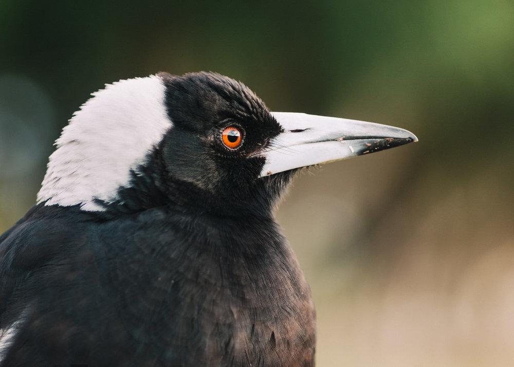 Magpie Portrait #24