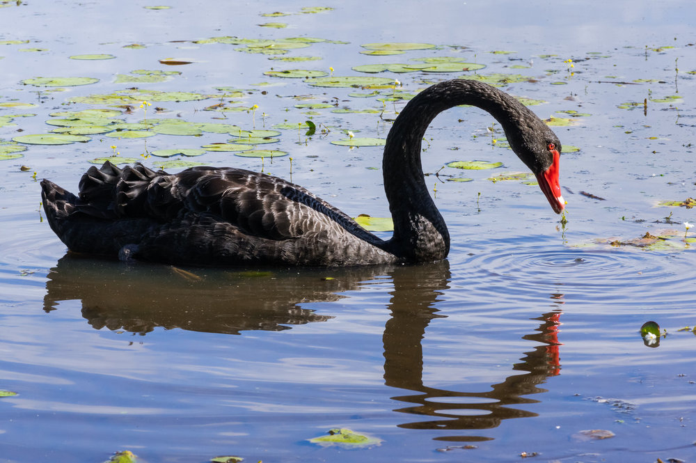 Black Swan & Reflection, Dowse Lagoon