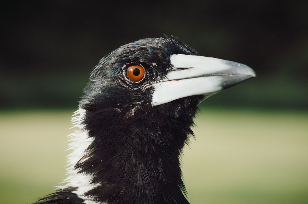 Magpie Portrait #3