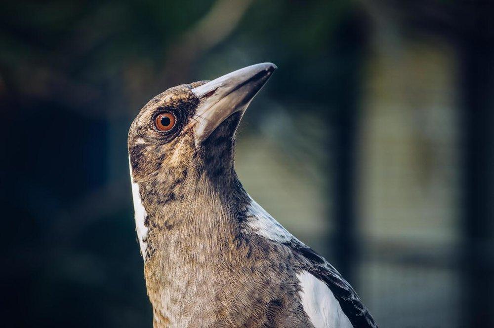 Magpie Portrait #5