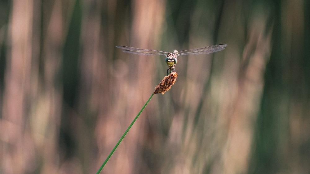 Blue Skimmer (Orthetrum caledonicum) at Rest