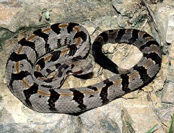 timberrattlesnake.jpg