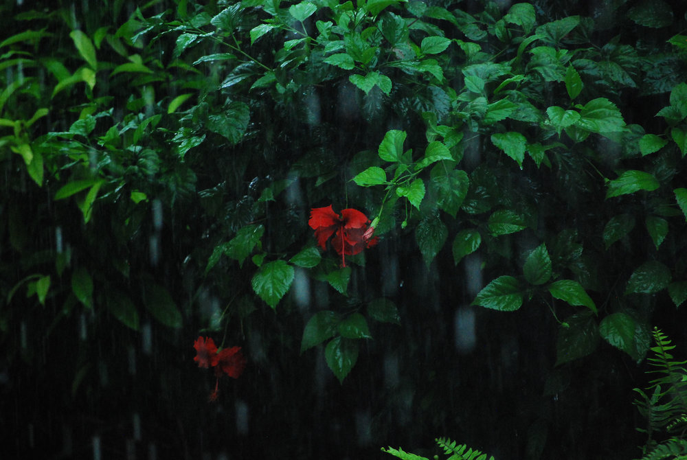 Mid-Rain Hibiscus