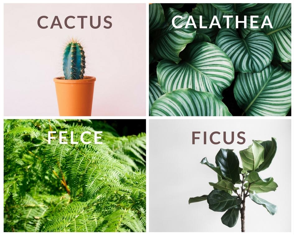 """5 Cactus:  di ogni varietà e forma, hanno spopolato in tantissimi profili IG. Facili ma non quanto le succulente ;)  6  Calathea:  delicata ma di grande effetto è tra le mie preferite ;) Tra le più spettacolari la Calathea Iancifolia  7  Felci:  di ogni genere, danno un tocco """"wild"""" agli ambienti, le Nephrolepis sono tra le più accessibili. Super fotografate la felce a corna di cervo.  8  Ficus:  il mio preferito è quello della foto, il Ficus Lyrata lo trovi in molti profili di interior design."""