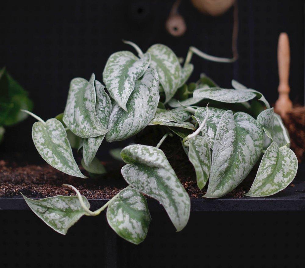 pothos pictus_www.gardenista.com