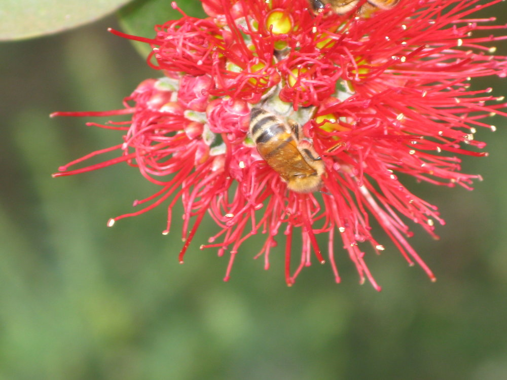 lehua & bee close up.JPG