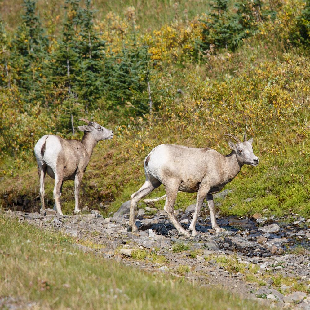 Mountains Sheep Female1.jpg