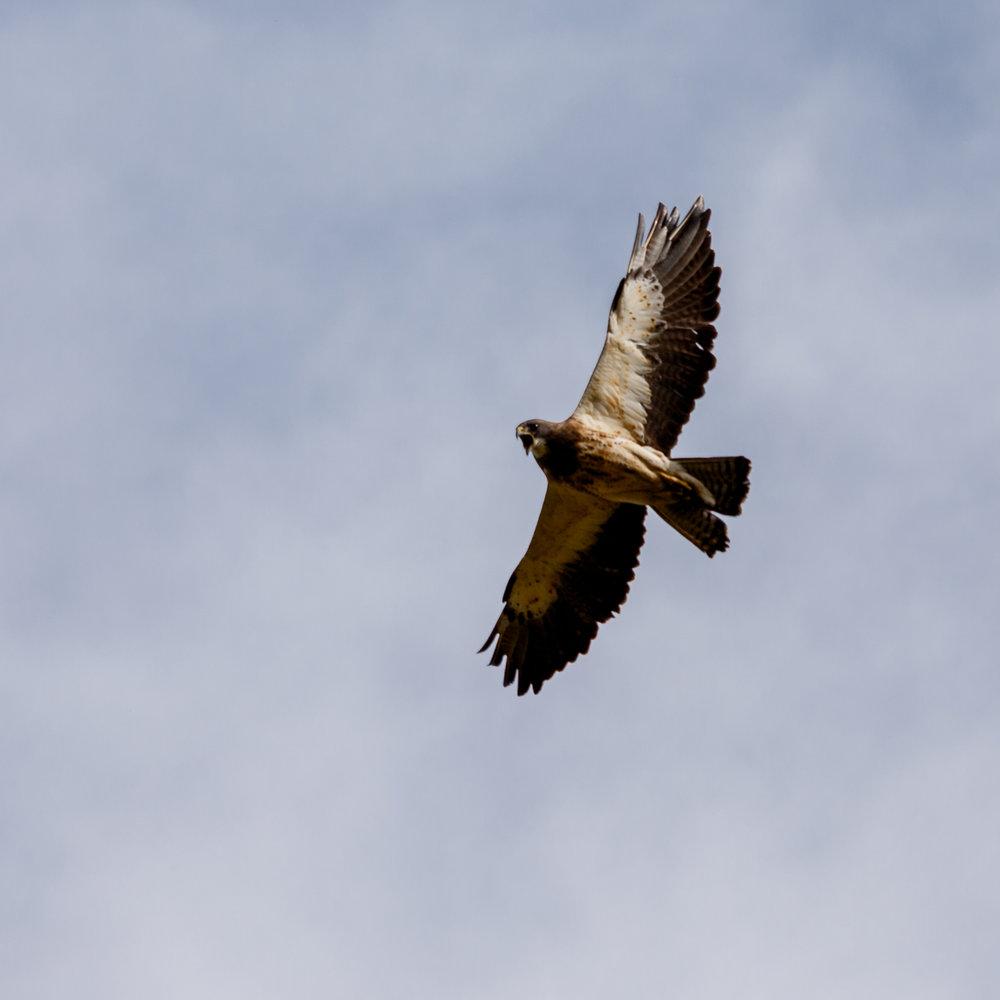 Hawk31.jpg
