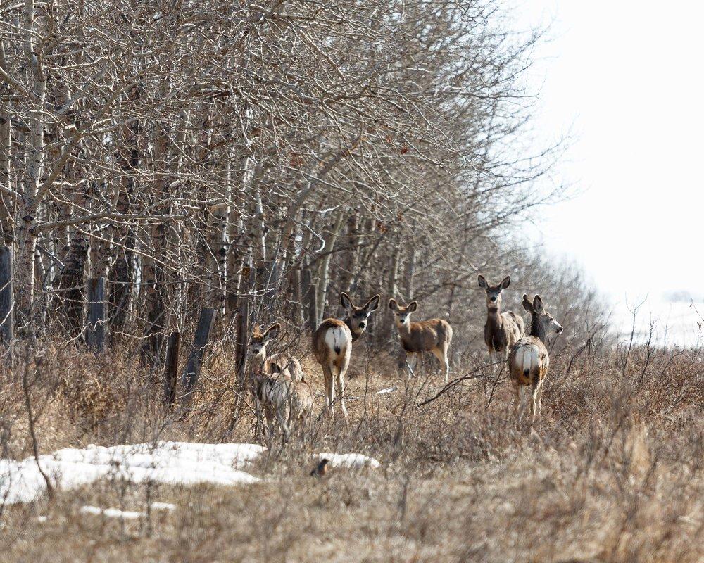 Mule Deer Field3.jpg