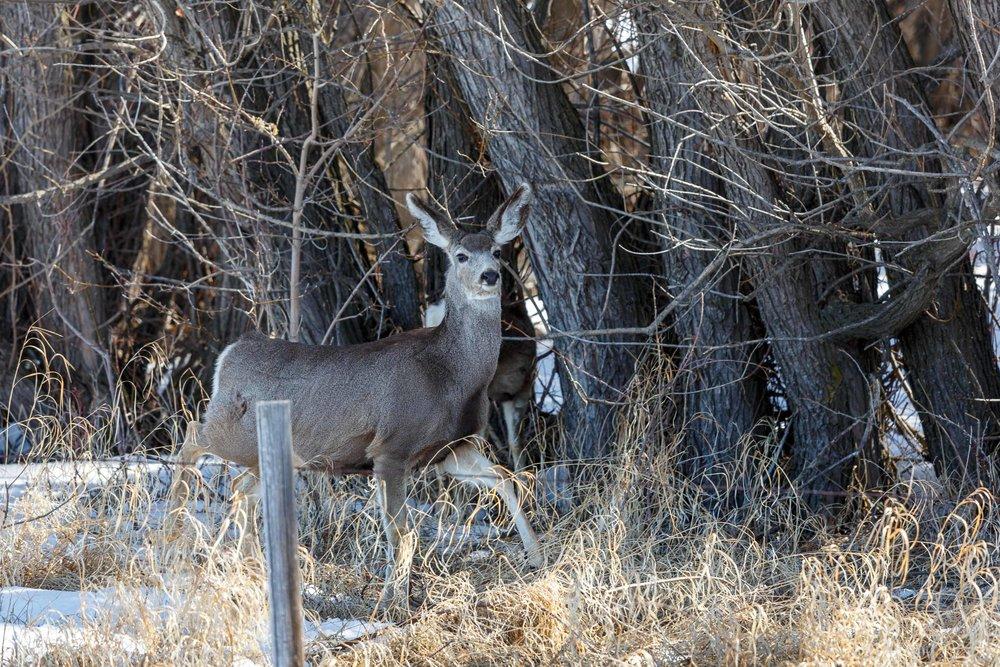 Mule Deer Woods1.jpg