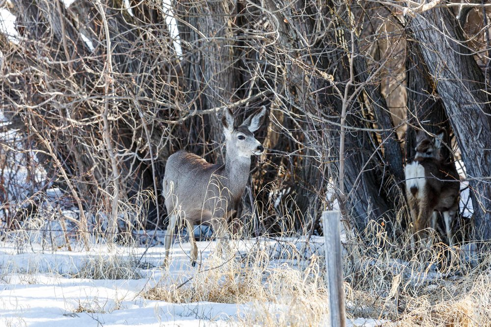Mule Deer Woods2.jpg