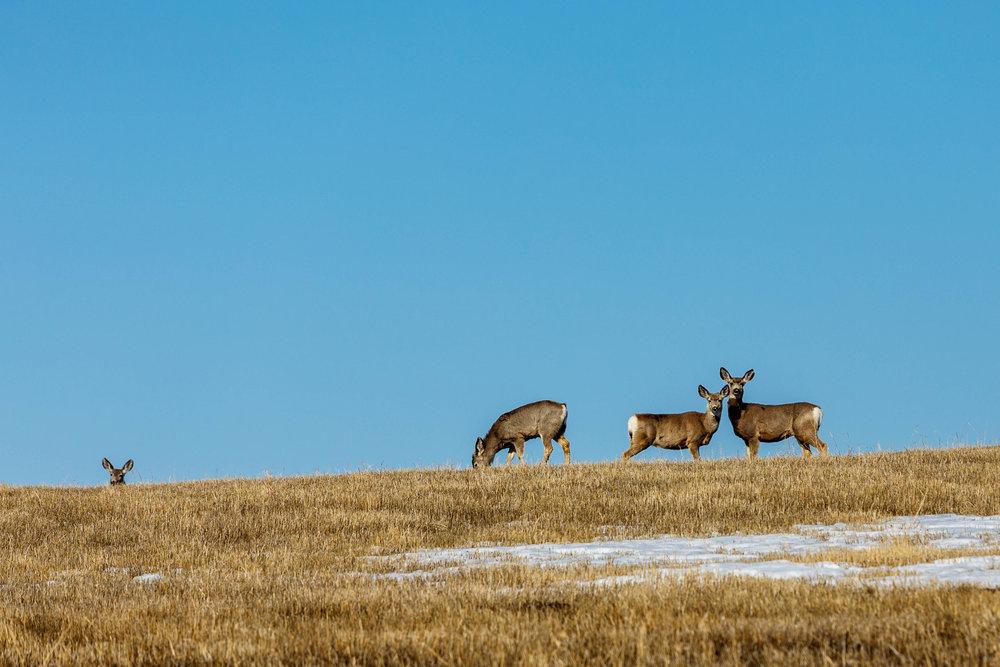 Mule Deer Field2.jpg