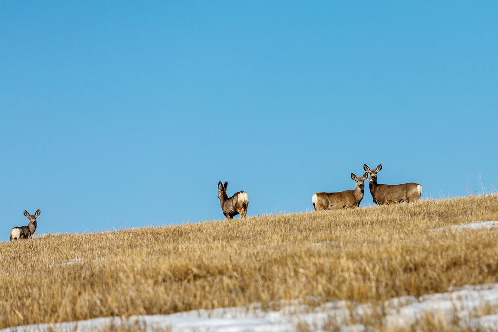 Mule Deer Field1.jpg