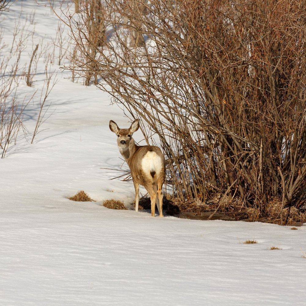 Mule Deer Woods3.jpg