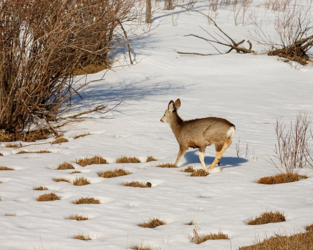 Mule Deer Woods4.jpg