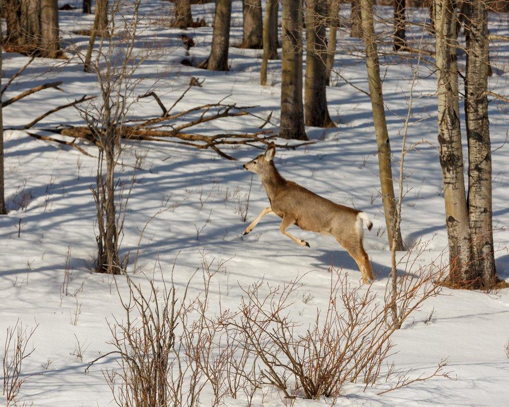 Mule Deer Woods5.jpg