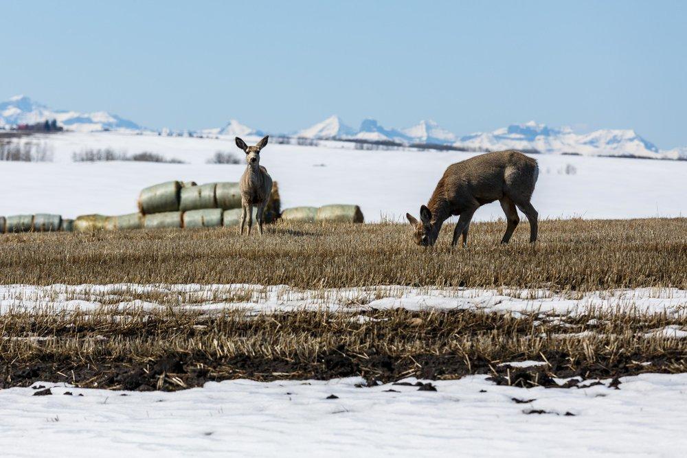 Mule Deer1.jpg