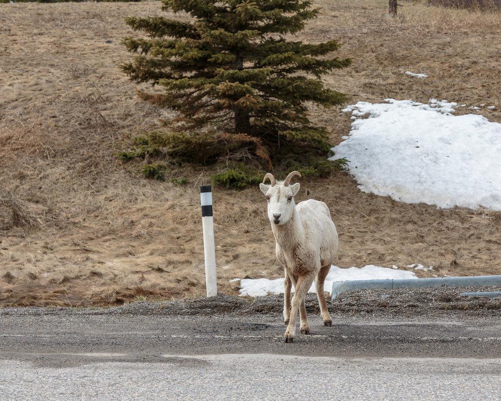 Sheep22.jpg
