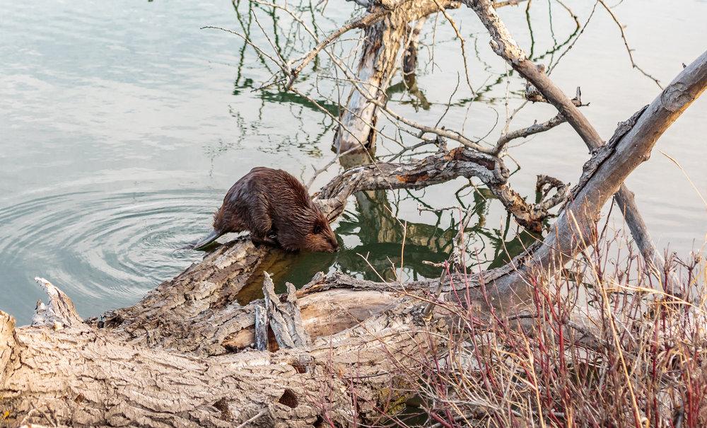 Beaver5.jpg